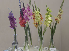 Show of gladioluses by V. Vinkelis